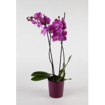 Orchidée Phalaenospis 2 hampes + cache pot