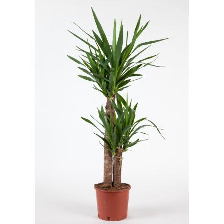Yucca 2 pieds