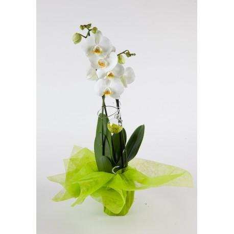 Orchidée Corolle  2 hampes