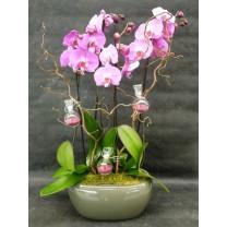 Duo d'orchidées