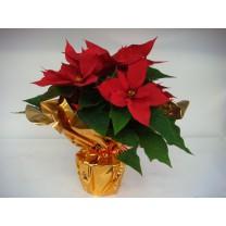 Poinsettia + corolle
